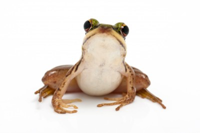 TECC 150629 - Frog